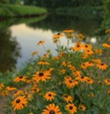 Black‑Eyed Susans by a stream